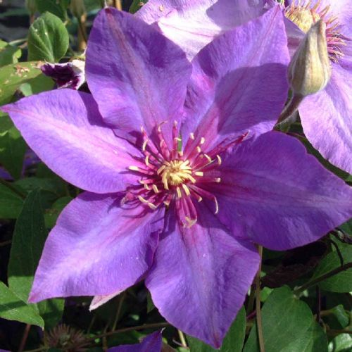 Clematis Richard Pennell
